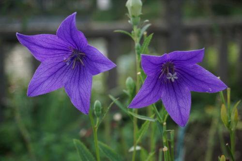 紫色の花が2輪咲いている様子