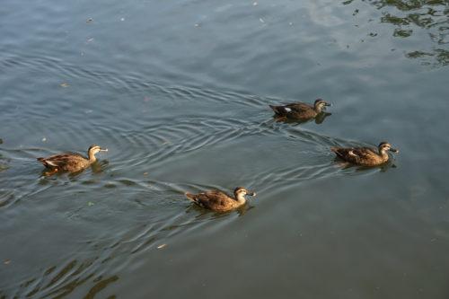 かも4匹が仲良く泳いでいる様子