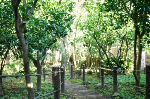 みかんの木がたくさん植えられている